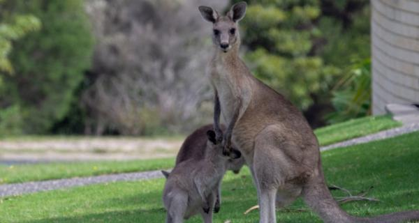 Photo of kangaroos in an urban setting