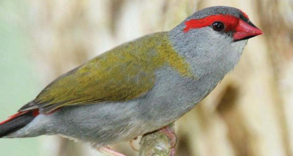 An image of a red-browed finch bird