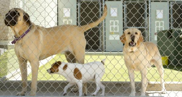 Photo of dogs at a boarding kennel