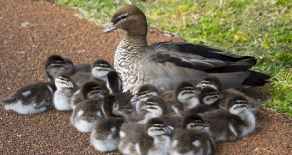Photo of mother duck and ducklings