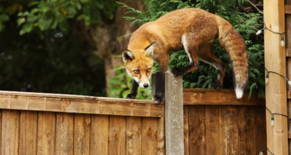Photo of a red fox climbing a fence