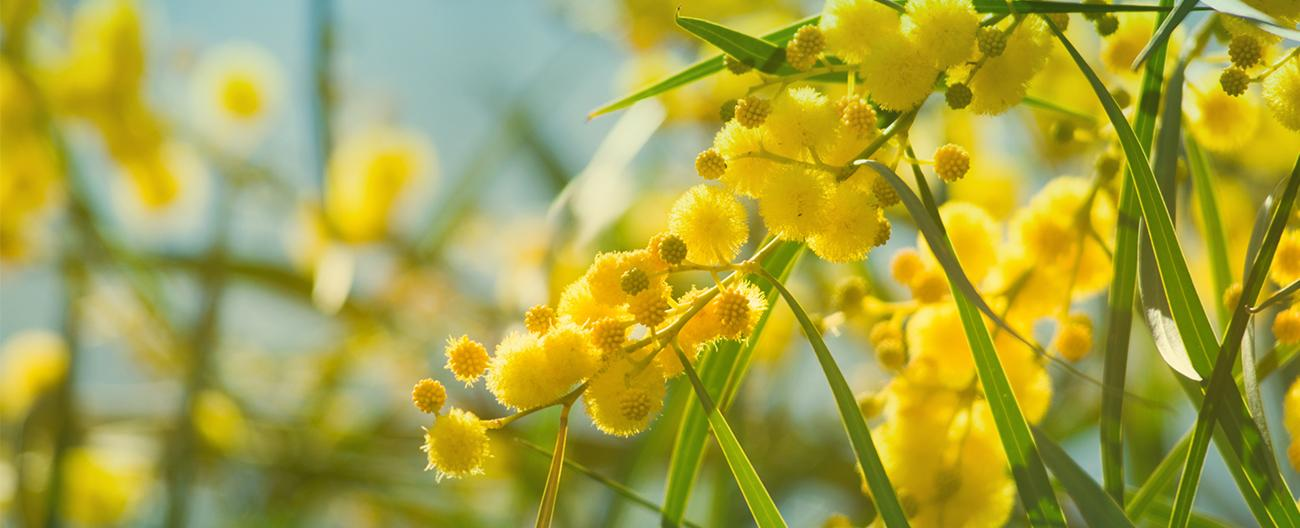 image of acacia flowers