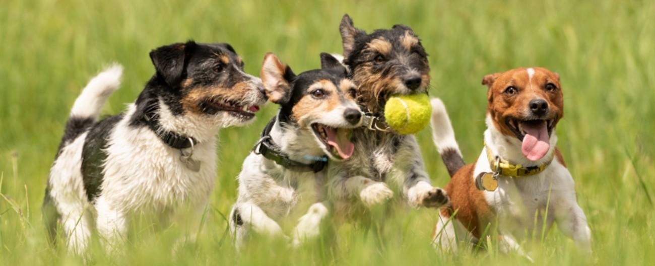Photo of four dogs chasing a ball